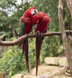 Paare von roten Papageien in der Liebe Stockbild