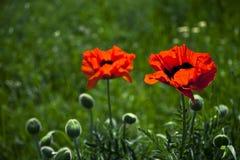 Paare von roten Tulpen auf dem grünen Gebiet Stockbild