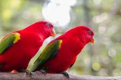 Paare von Rottönen Lizenzfreies Stockbild