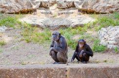 Paare von Schimpansen Lizenzfreie Stockbilder