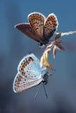 Paare von Schmetterlingen auf einem blauen Hintergrund Stockbilder