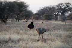 Paare von Sträußen, Nationalpark Tarangire, Tansania Stockbild
