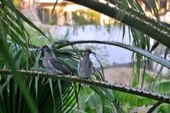 Paare von Tauben stockfoto