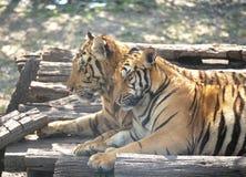 Paare von Tigern mit Romance Lizenzfreie Stockfotografie