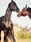 Paare von Trakehner-Hengsten in der Wiese Lizenzfreies Stockfoto