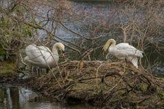 Paare von weißen Höckerschwänen auf enormem Nest Stockfotografie