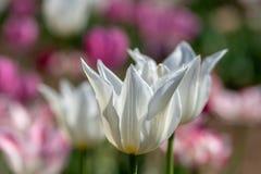 Paare von weißer Lily Tulips Stockbilder