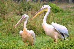 Paare von weißen Pelikanen auf Gras Stockfoto