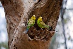 Paare von Wellensittichpapageien auf dem Nest Stockfotografie