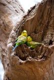 Paare von Wellensittichpapageien auf dem Nest Lizenzfreies Stockfoto