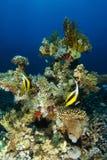 Paare von Wimpelfischen schwimmen über dem korallenroten Garten lizenzfreie stockbilder
