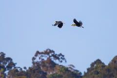 Paare von Wreathed Hornbill (Rhyticeros-undulatus) stockfotografie