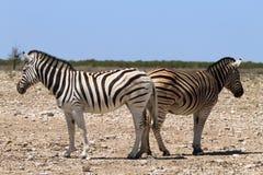 Paare von Zebras Stockfotografie