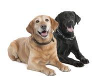 Paare von zwei Labradors (2 und 7 Jahre alt) stockbild
