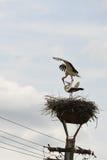 Paare von zwei weißen Störchen im Nest auf einem Laternenpfahl Stockfotografie