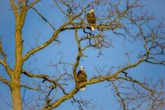 Paare Weißkopfseeadler auf dem bloßen Winter-Baum, der untergehende Sonne gegenüberstellt Lizenzfreie Stockbilder