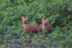 Paare wilde Hundeaufladung Stockbilder