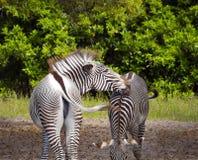 Paare Zebras Stockbilder