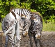 Paare Zebras Lizenzfreies Stockfoto