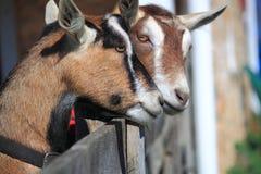 Paare Ziegen Lizenzfreie Stockfotos