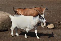 Paare Ziegen Stockfoto