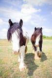 Paare Zigeuner Vanner-Pferde Lizenzfreie Stockbilder