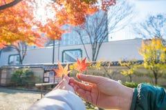 Paarhanden die rode esdoornbladeren in de herfst met zonnige backg houden Stock Afbeeldingen