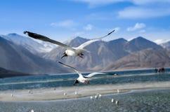 Paarseemöwenfliege Stockbilder