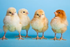 Paaseieren en kippen op blauw Royalty-vrije Stock Afbeeldingen