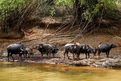 Pac av buffeln Fotografering för Bildbyråer