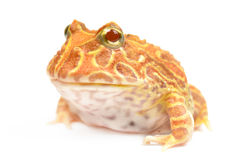 Pac Man Frog. On white background Royalty Free Stock Images