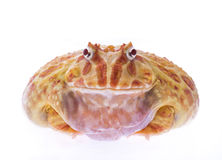 Pac man frog. At a white background Royalty Free Stock Image