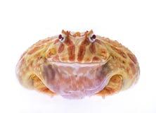 Pac man frog Royalty Free Stock Image