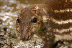 Paca. A closeup of a rodent known as the Paca or Tepezcuintle Royalty Free Stock Photos