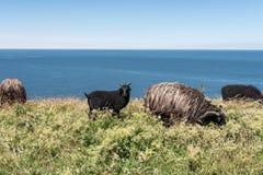Pacage des moutons sur le pré contre la mer et le ciel Photographie stock libre de droits