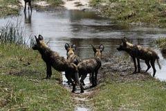 Pacchetto africano del cane selvaggio fotografie stock libere da diritti