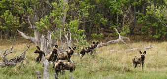 Pacchetto africano del cane selvaggio nell'azione Immagini Stock Libere da Diritti
