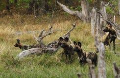 Pacchetto africano del cane selvaggio nell'azione Fotografie Stock Libere da Diritti