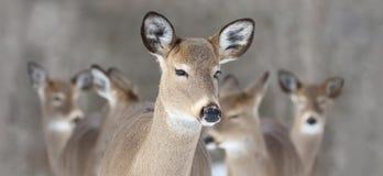 Pacchetto dei cervi in natura Fotografia Stock Libera da Diritti
