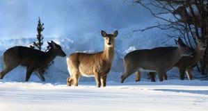 Pacchetto dei cervi in natura durante l'inverno fotografie stock libere da diritti