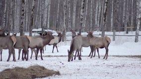 Pacchetto dei cervi nella foresta selvaggia video d archivio