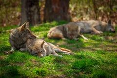 Pacchetto dei coyote che dormono e che riposano nella foresta Fotografie Stock Libere da Diritti