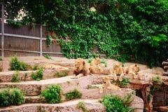 Pacchetto dei leoni in giardino zoologico Immagini Stock Libere da Diritti