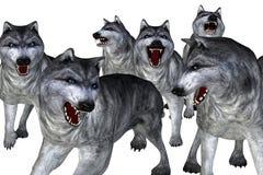 Pacchetto dei lupi Fotografia Stock