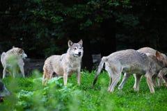 Pacchetto dei lupi in naturale Immagini Stock Libere da Diritti
