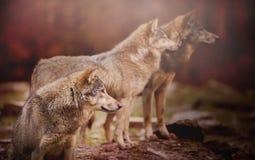Pacchetto dei wolfs Immagine Stock Libera da Diritti
