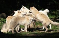 Pacchetto di lupo artico Immagini Stock