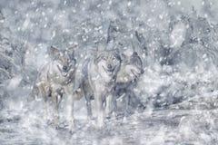 Pacchetto di lupo nella montagna, nell'inverno e nella neve Immagine Stock Libera da Diritti