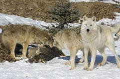 Pacchetto di lupo sull'uccisione Fotografia Stock