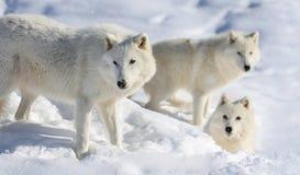 Pacchetto di wolve artico fotografia stock libera da diritti